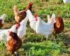 Hodowcy drobiu obawiają się ustawy paszowej. Zakaz stosowania genetycznie modyfikowanych pasz dla zwierząt może spowodować wzrost cen i załamanie produkcji