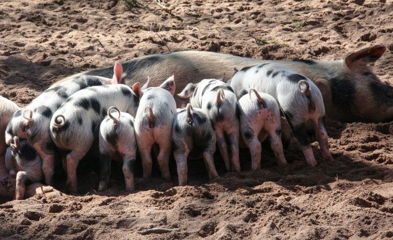 Rolnicy składają pierwsze wnioski o rekompensaty z powodu afrykańskiego pomorem świń. Wirus spowodował już wielomilionowe straty