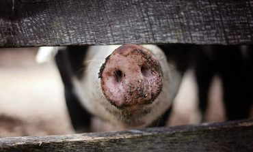 Producenci świń i tytoniu mogą się ubiegać o pomoc finansową z tytułu niezapłaconych faktur. ARiMR przyjmuje wnioski do 14 sierpnia